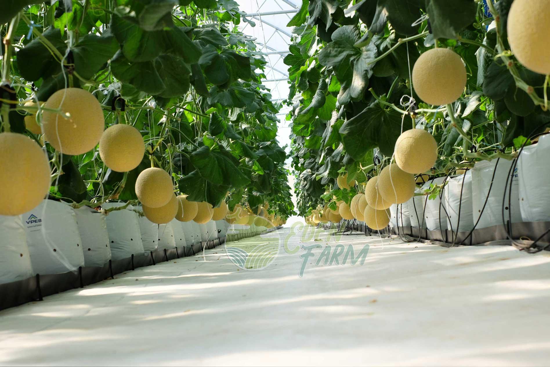 Trang trại trồng dưa lưới trong nha kính tại Bình Thuận